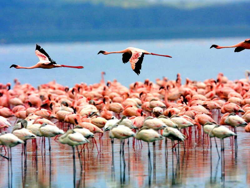 Pembury Tours - East Africa - Tanzania - Lake Manyara - flamingoes
