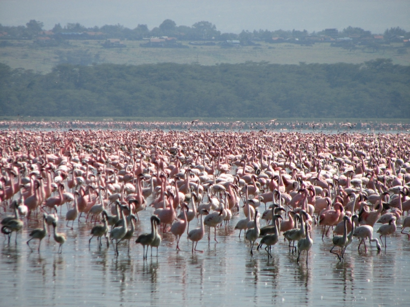 Pembury Tours - East Africa - Tanzania - Lake Manyara - massed flamingoes
