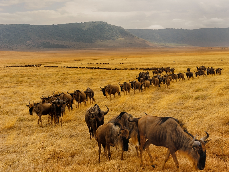 Pembury Tours - East Africa - Tanzania - Serengeti - safari - migration - line of wildebeest