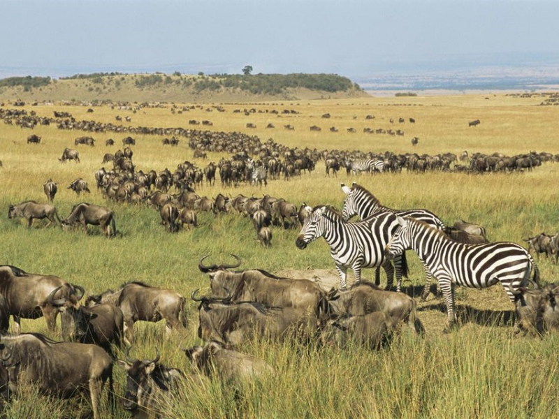 Pembury Tours - East Africa - Tanzania - Serengeti - migration - wildebeest and zebra -