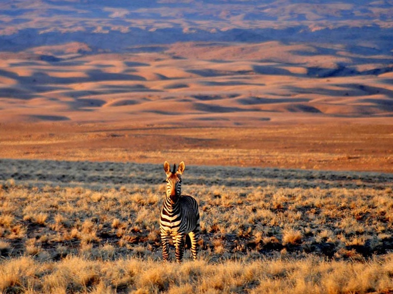 Pembury Tours - Sossusvlei Desert Lodge - Game Drives - Zebra