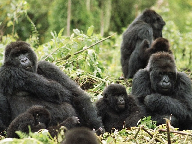 Pembury Tours - Volcanoes National Park - Rwanda - Activities - Gorilla Trekking 3