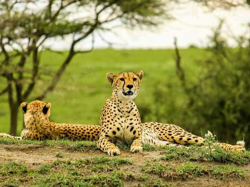 Pembury Tours - Tarangire National Park - Tanzania - Game Viewing - Game Drives - Cheetah