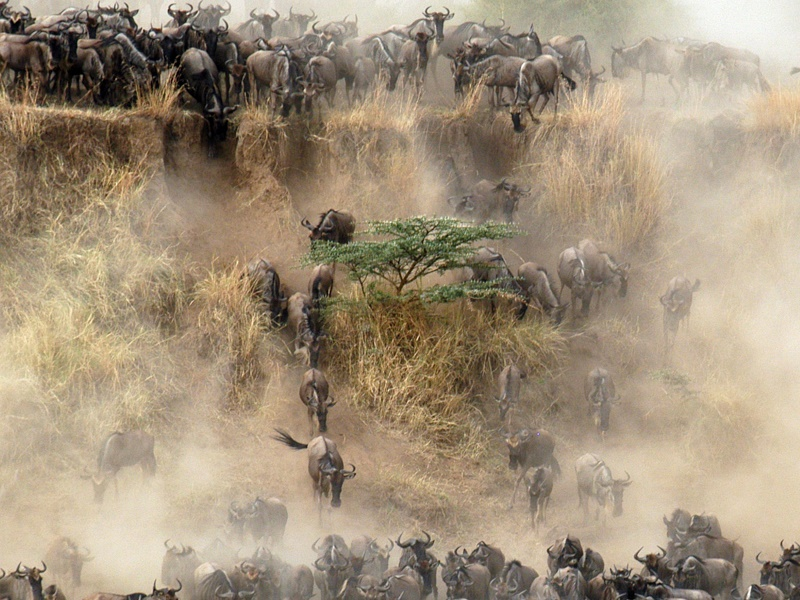Pembury Tours - Serengeti - Mara River - Tanzania - Game Viewing - Big 5 - Wildebeest