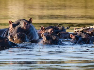 Pembury Tours - Timbavati Game Reserve - Kruger National Park - Game Viewing - Hippo