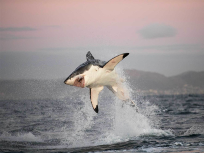 Pembury Tours-Great White Shark