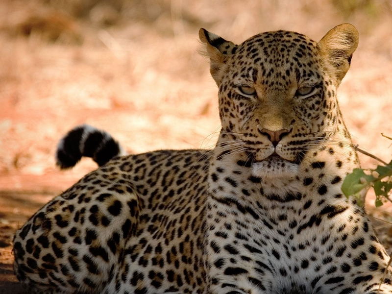 Pembury Tours - Chobe National Park - Game Viewing - Game Drives - Leopard
