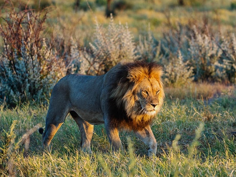 Pembury Tours - Makgadikgadi Pans National Park - Botswana - Game Drives - Game Viewing - Big Five - Lion