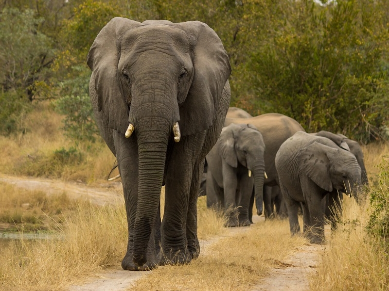 Pembury Tours - Sabi Sand Game Reserve - Kruger National Park - Wildlife Viewing - Game Drives - Game Viewing - Elephant