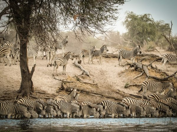 Pembury Tours - Makgadikgadi Pans National Park - Botswana - Game Drives - Game Viewing - Zebras