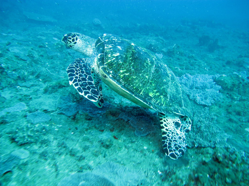 Pembury-Tours-KZN-Sodwana-Bay-Turtle