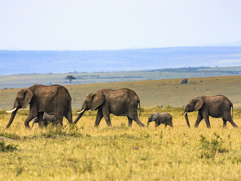 Pembury Tours - Maasai Mara - Elephants