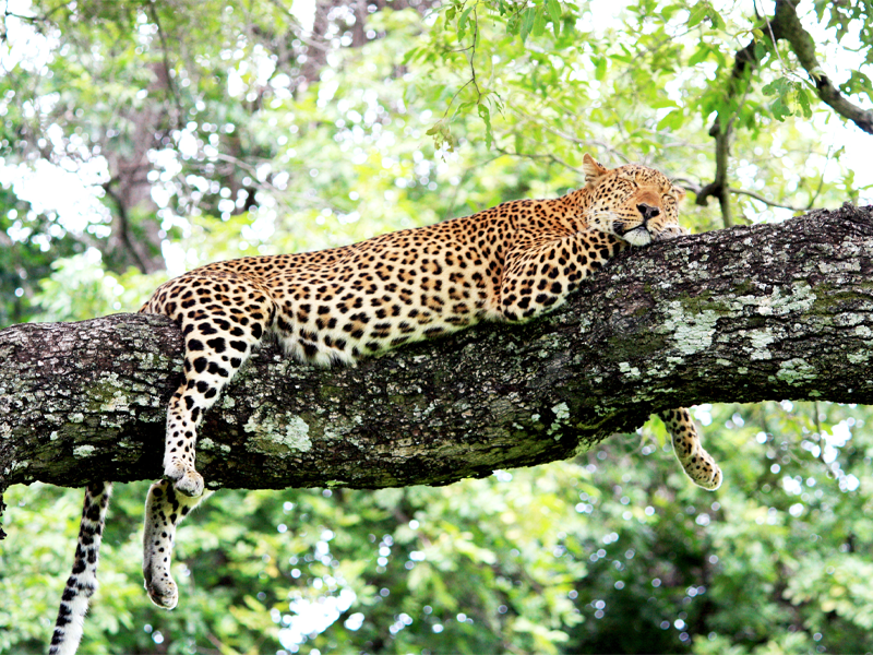 Pembury Tours-Zambia-South Luangwa-Leopard