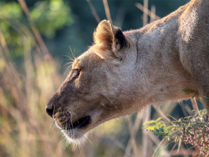 Pembury Tours-Zambia-South Luangwa-Lion