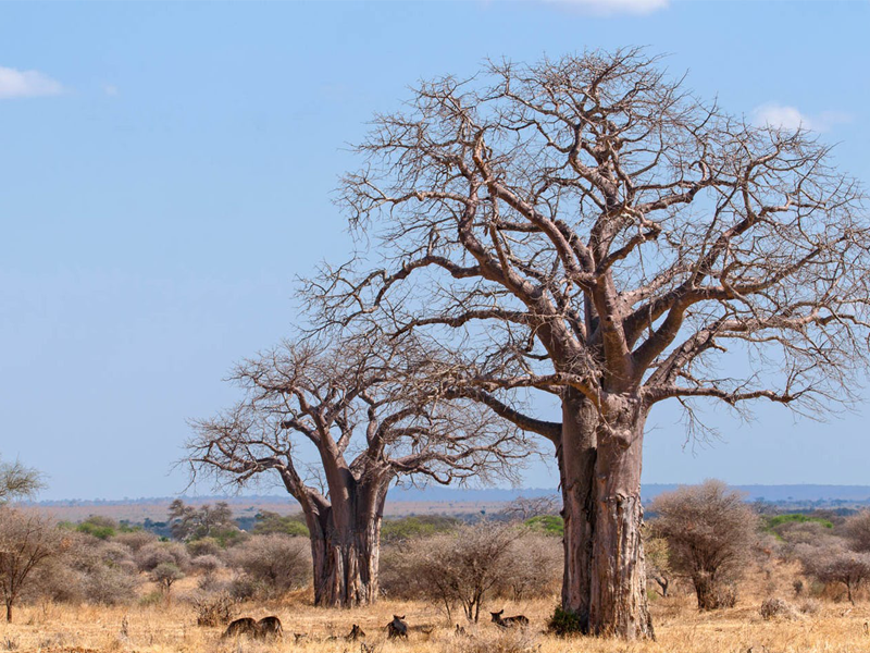 Tanzania - Ruaha National Park - Baobab Trees
