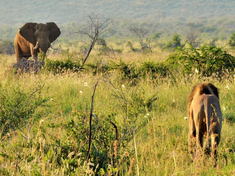 Pembury Tours - Madikwe Game Reserve - North West Province - Game Drives - Game Viewing - Elephant & Lion