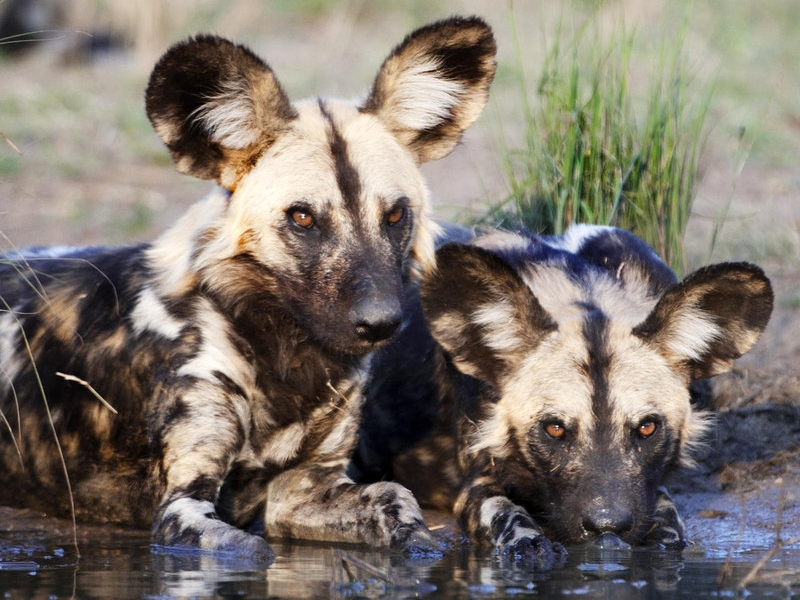Pembury Tours - Sabi Sand Game Reserve - Kruger National Park - Londolozi Tree Camp - Game Drive - Game Viewing - Wild Dog