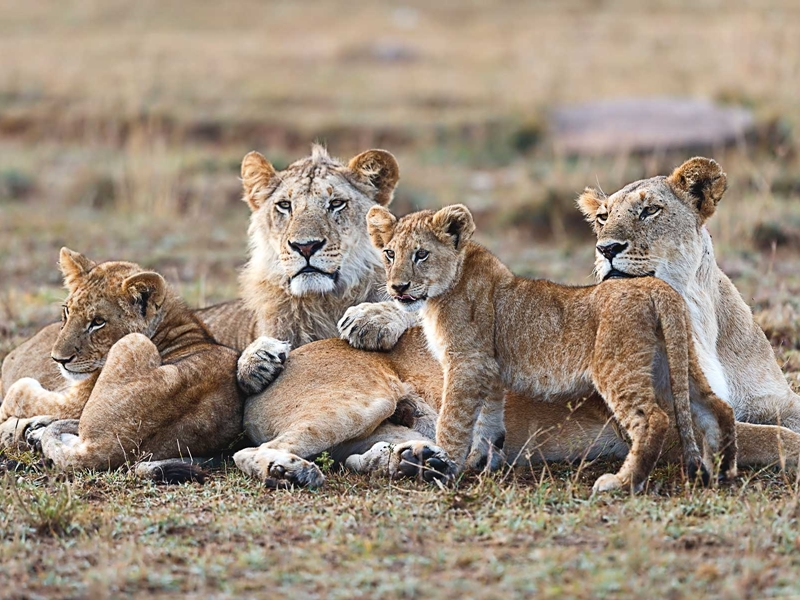 Pembury Tours - Ol Pejeta Conservancy - Kenya - Game Drive - Game Viewing - Big Five - Lion