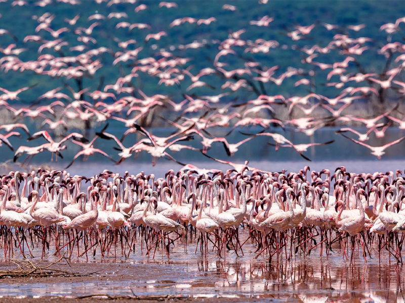 Pembury Tours - Kenya - Lake Bogoria - Flamingos - Flock