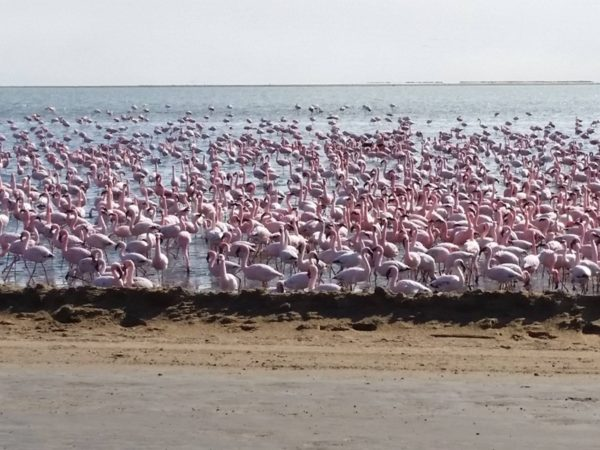 Pembury Tours - Walvis Bay - Swakopmund - Namibia - Namibian Wildlife - Self Drive Activities - Lagoon - Flamingo
