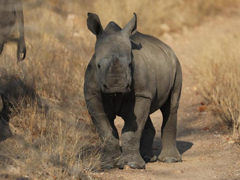 Pembury Tours - Klaserie Game Reserve - Kruger National Partk - South Africa - Game Drive Activities - Game Drive - Rhino