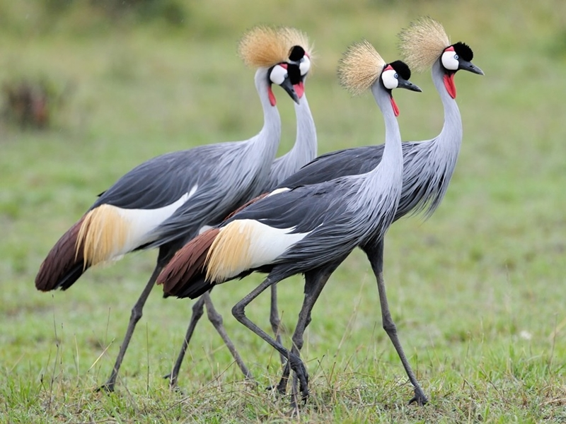 Pembury Tours - Akagera National Park - Rwanda - Game Viewing - Game Drive - Birding - Birdlife - Crested Crane