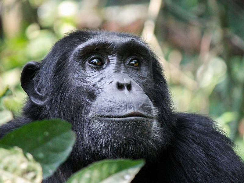 Pembury Tours - Nyungwe Forest Reserve - Rwanda - Activities - Chimpanzee Trekking