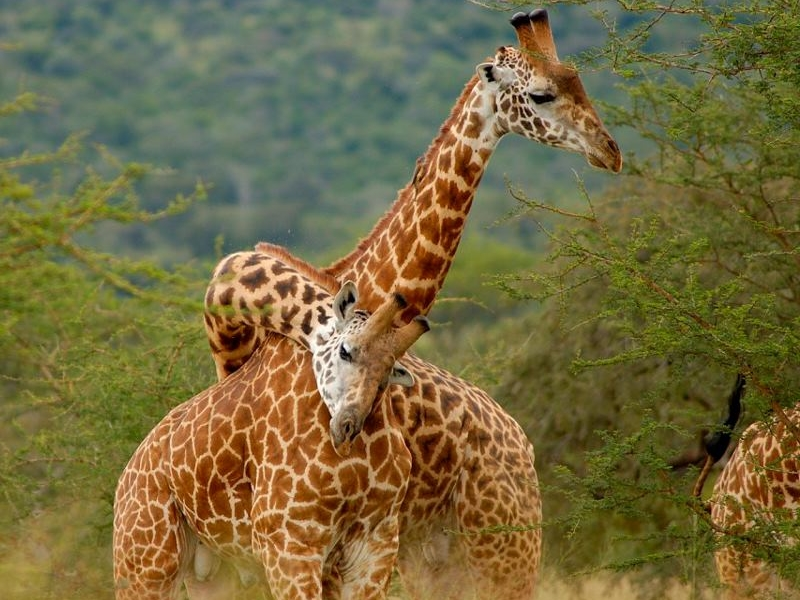 Pembury Tours - Akagera National Park - Rwanda - Game Viewing - Game Drive - Giraffe