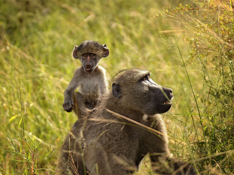 Pembury Tours - Kruger National Park - South Africa - Baboon with Baby