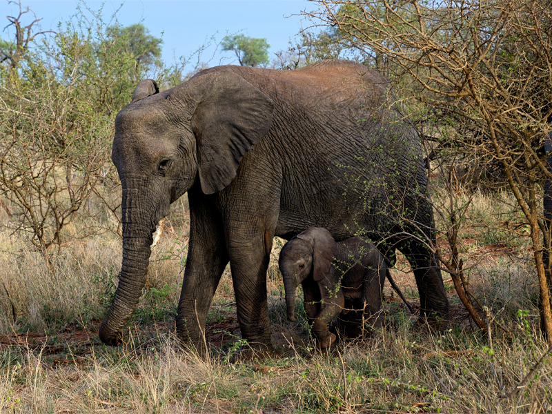 Pembury Tours - Kruger National Park - South Africa - Big Five - Elephant with Baby