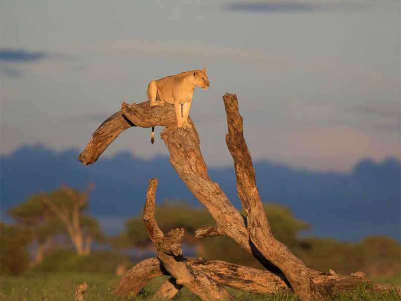 Pembury Tours - Kenya - Amboseli National Park - Big Five - Lion Climbing Tree