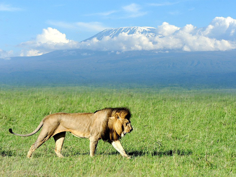 Pembury Tours - Kenya - Amboseli National Park - Big Five - Lion