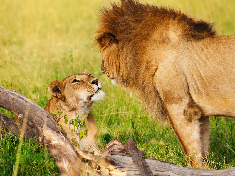 Pembury Tours - Kenya - Amboseli National Park - Big Five - Lions