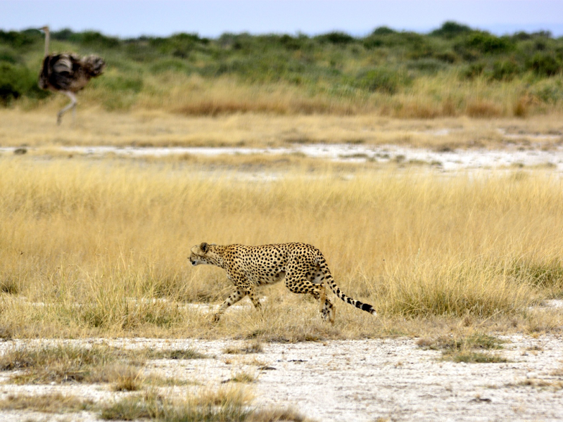 Pembury Tours - Kenya - Amboseli National Park - Cheetah