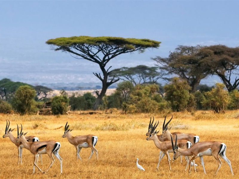 Pembury Tours - Kenya - Amboseli National Park - Gazelle