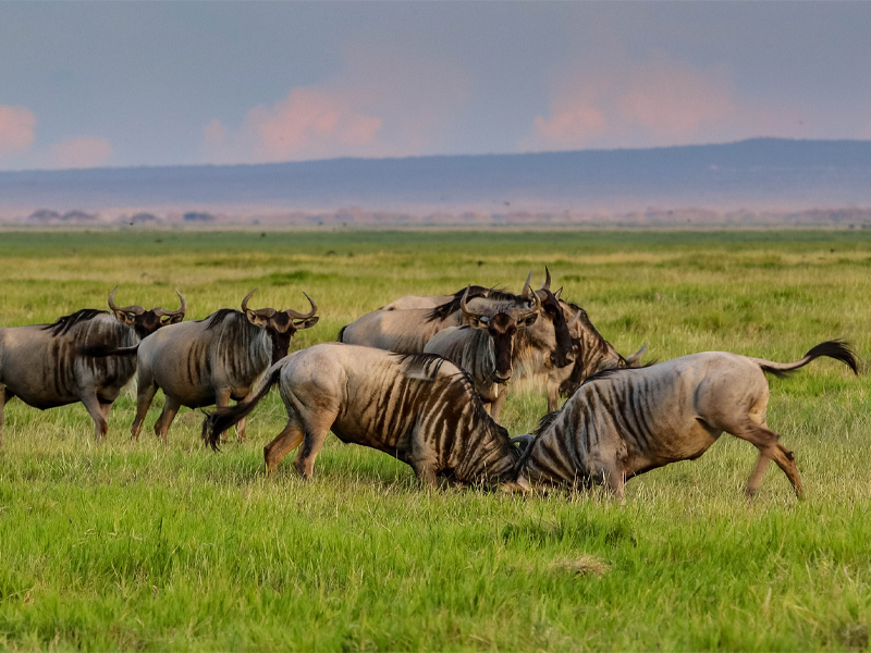 Pembury Tours - Kenya - Amboseli National Park - Wildebeest