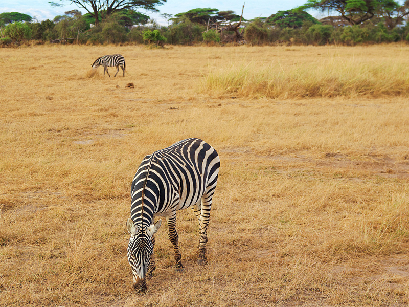 Pembury Tours - Kenya - Amboseli National Park - Zebra