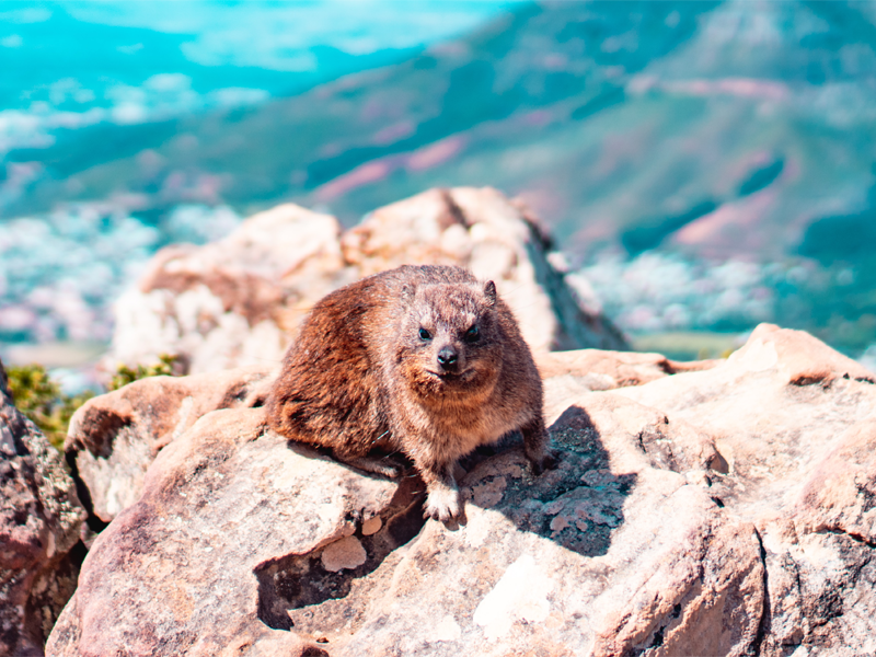 Pembury Tours - Table Mountain - Cape Town - South Africa - Dassie - Rock Hyrax