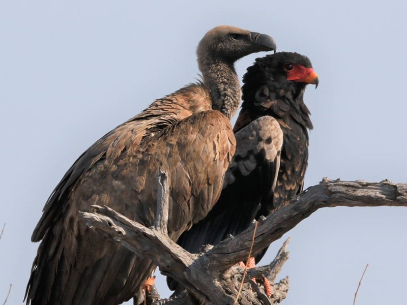Pembury Tours - Klaserie Game Reserve - Greater Kruger National Park - South Africa - Kruger Wildlife - Game Drive - Game Viewing - Birding - Birdlife - Vulture & Bateleur Eagle