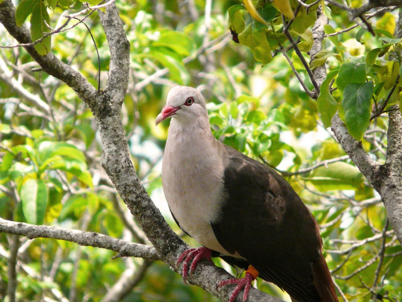 Pembury Tours - Mauritius - Indian Ocean Islands - Bird Watching
