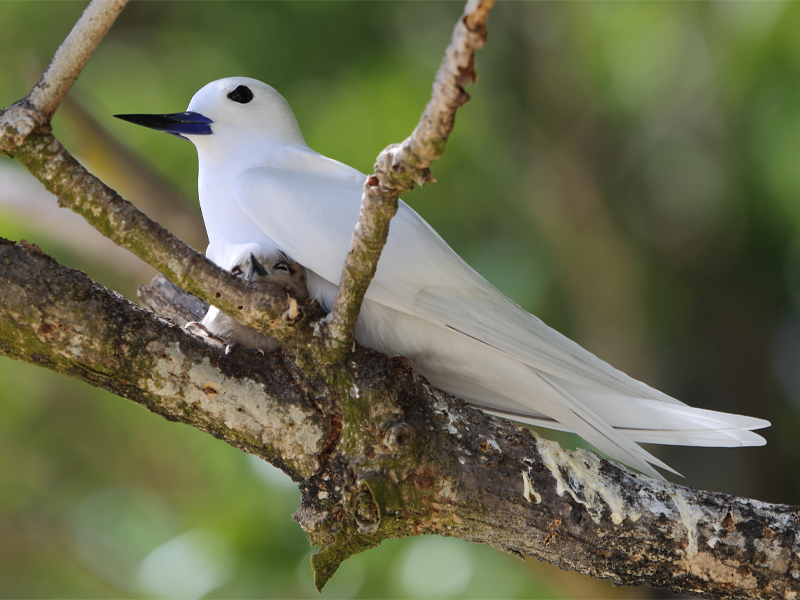 Pembury Tours - Seychelles - Indian Ocean Islands - Bird Watching