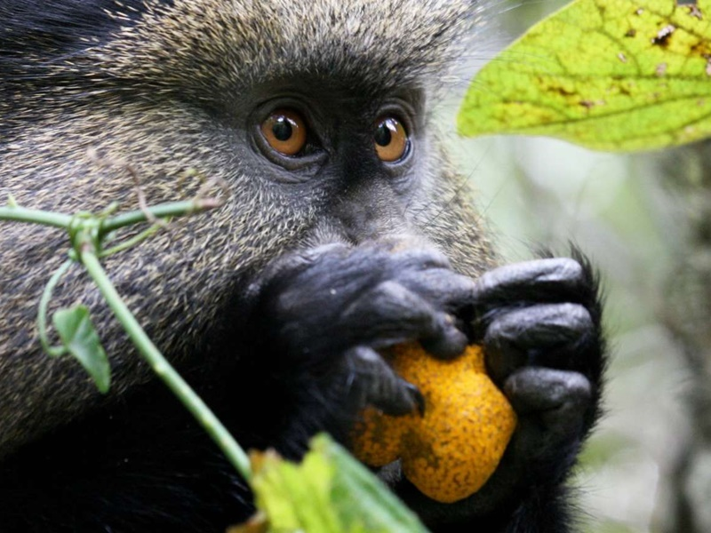 Pembury Tours - Volcanoes National Park - Rwanda - Activities - Golden Monkey Trek 3