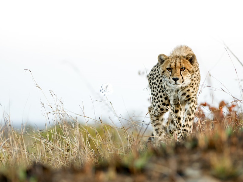 Pembury Tours - Victoria Falls Private Game Reserve - Matetsi - Zimbabwe - Game VIewing - Game Drive - Cheetah