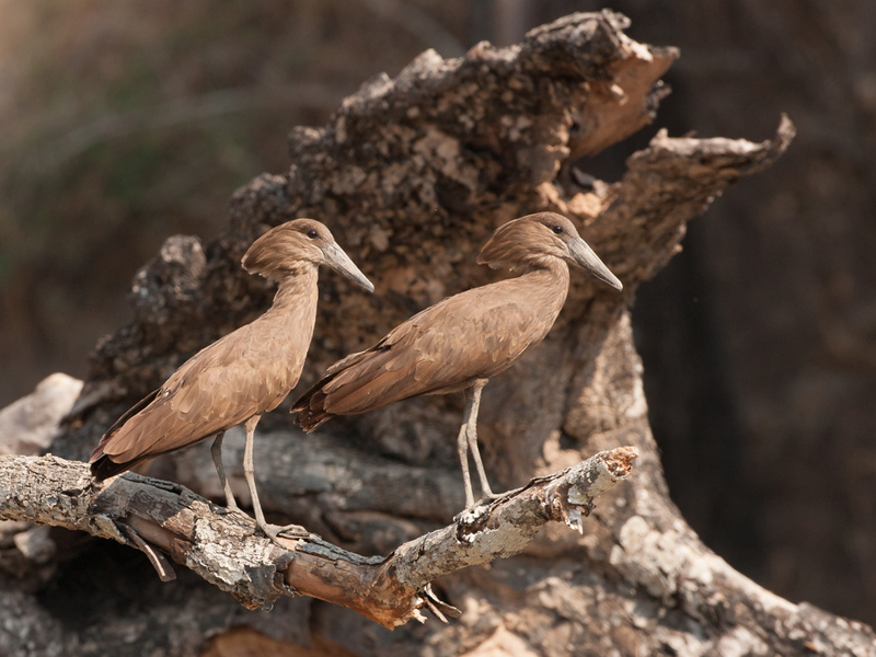 Pembury Tours - South Luangwa - Zambia - Best Birdwatching Spots in Africa