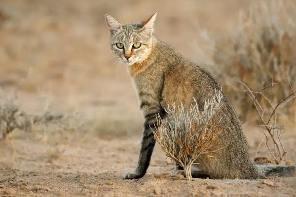 Pembury Tours - Africa's Little Cats - the African Wild Cat