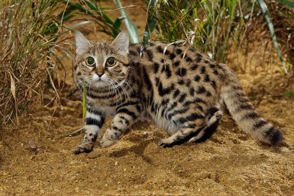 Pembury Tours - Africa's Little Cats - Black-Footed Cat