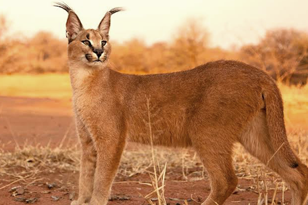 Pembury Tours - Africa's Little Cats - the Caracal