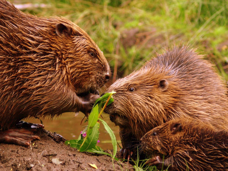 Pembury Tours - Cute Animal Love Facts - Beavers spend as much time with their partner as they do buliding dams