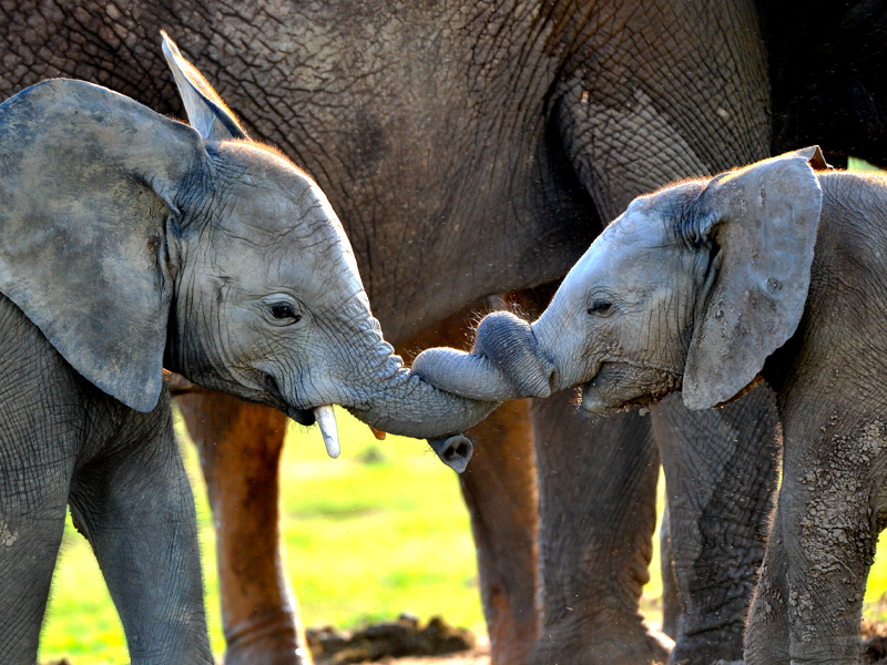 Pembury Tours - Cute Animal Love Facts - Elephants entwining their trunks