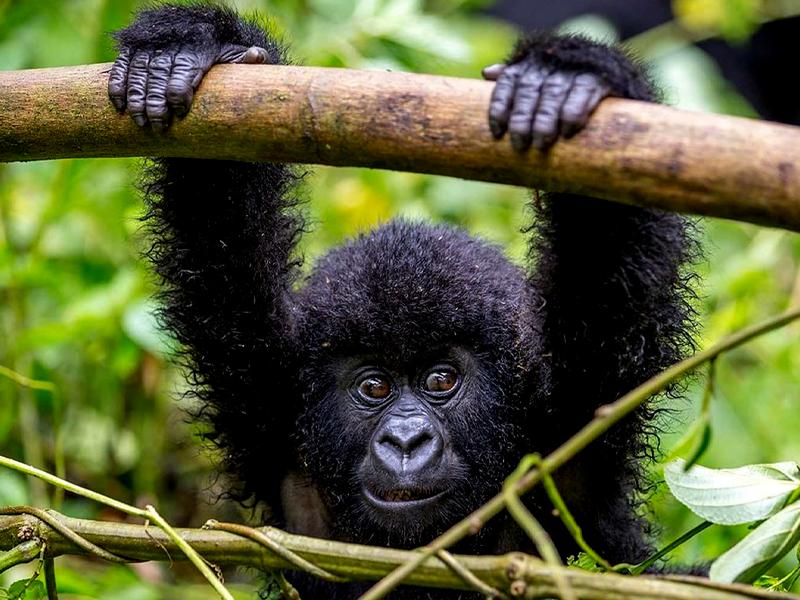 Pembury Tours - Inspiring Photos of Uganda - Baby Gorilla